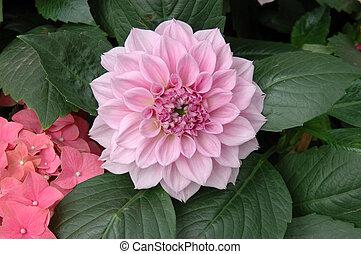 Pink peony - Close up of a pink peony