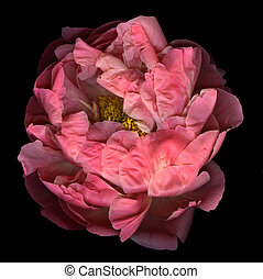 Pink Peony - Blooming pink peony isolated on black...