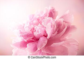 Pink peony - Beautiful pink peony, soft focus