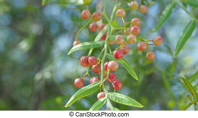 Pink peppercorn (baie rose, pink berry). Schinus molle or...