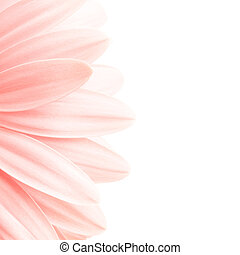 pink petals shot highkey isolated on white, 1:1 ratio crop of 5D image