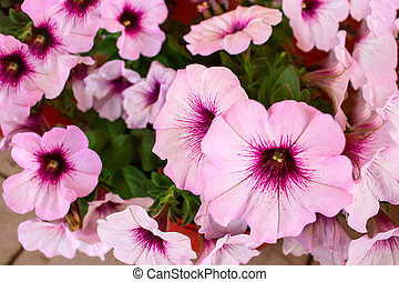 pink petunia flower in the summer garden
