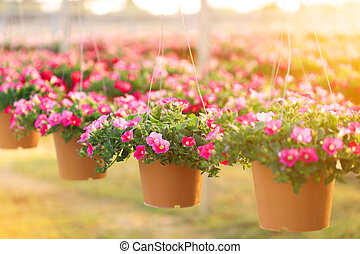 petunia flowers in hanging flower pot