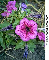 Pink petunias in the flowerbed
