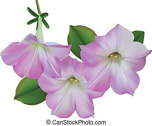 Pink petunias - Three beautiful light pink petunias isolated...