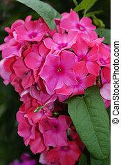 Pink phlox flower.