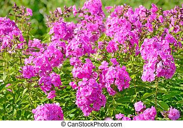 Pink phlox flowers in garden