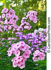 Pink phlox flowers in the garden