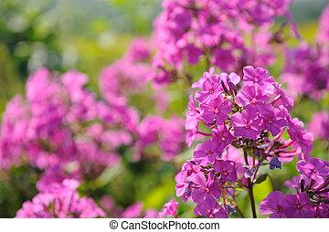 Pink Phlox Flowers - Pink phlox flowers growing on flower ...