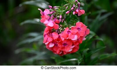 Pink phlox in rain in summer - Pink phlox in the rain in...