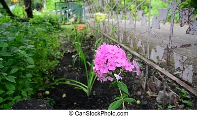 Pink phlox in the garden near fence - Pink phlox in the...