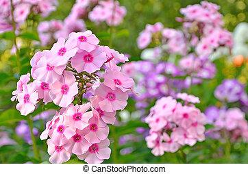 Pink phlox in the garden