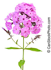 Pink phlox isolated on white background