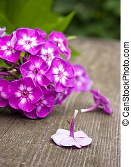Pink phlox - lonely flower on background inflorescence phlox