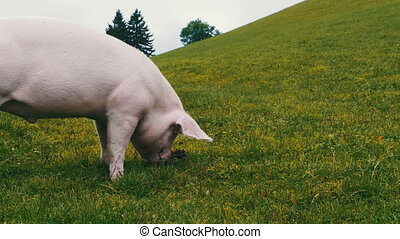 Pink Pig Walks and Eats Roots on a Green Meadow in the...