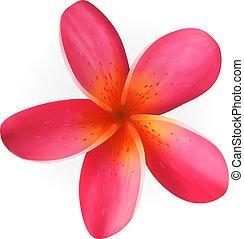 Pink Plumeria flower isolated on white - Pink Frangipani...