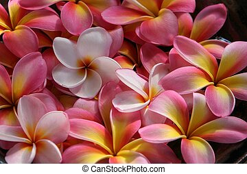 close of up pink and yellow plumeria / frangipani flowers in bowl