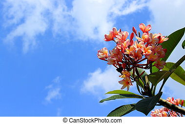 Pink plumeria flowers in sky background.