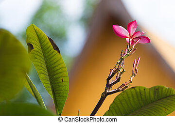 Pink Plumeria on the plumeria tree,