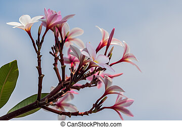 Pink plumeria on the plumeria tree in garden