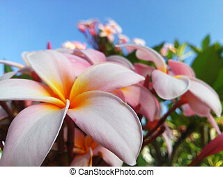 Pink plumeria on the tree