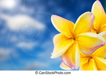pink plumeria with sky background