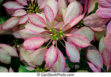 Pink poinsettia flower