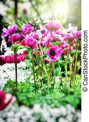 Pink poppy anemone flowers