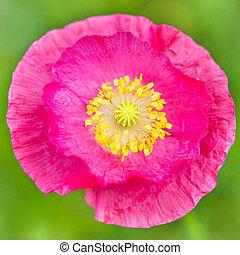 pink Poppy blossom, closeup of a papaver flower