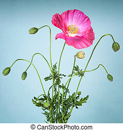 Pink poppy flower on light blue background