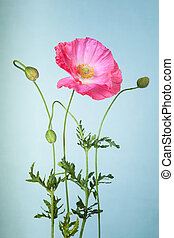 Pink poppy flower on light blue background