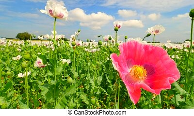 Pink poppy hybrid. Detailed red pink poppy flower hybrid...