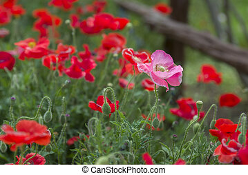 Pink Poppy in a Field of Red Poppies