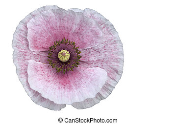 Pink Poppy isolated with clipping path