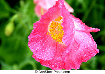 pink poppy with dew drops