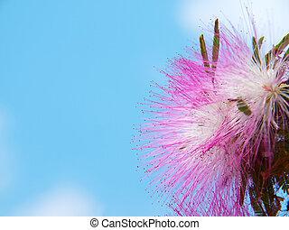 Pink powderpuff blooming like dream - Pink powderpuff...