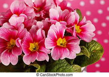 Pink primrose flowers - pink primrose flowers on pink ground