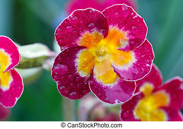 Pink primrose flowers with dew drops in the garden