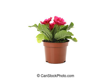 Pink primrose in flower pot isolated on white background