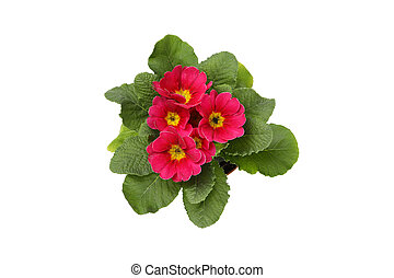 Pink primrose isolated on white background, top view