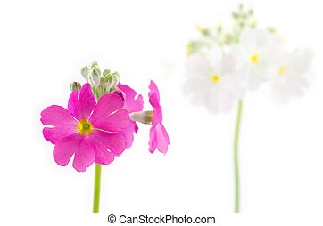 Pink primula flower in front of white