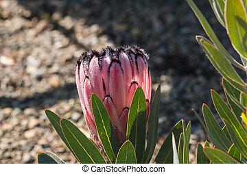 pink protea flower bud