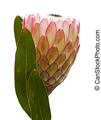 Pink protea flower isolated on white background