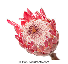 pink protea macro background