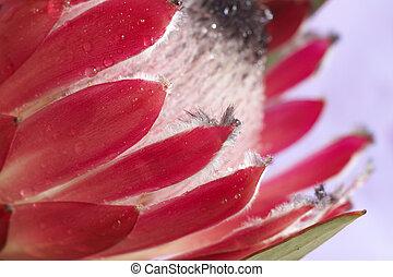 Pink protea macro - Macro shot of pink Protea (Protea Hybrid...