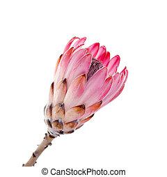 Pink protea on white