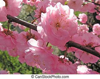 pink Prunus triloba. closeup