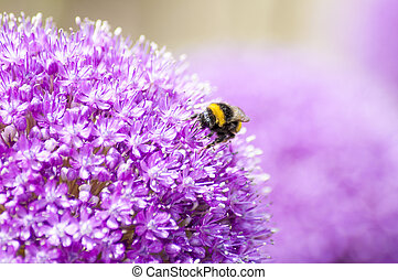 Close-Up Macro of Yellow and Black Bumble Bee on Allium Flower