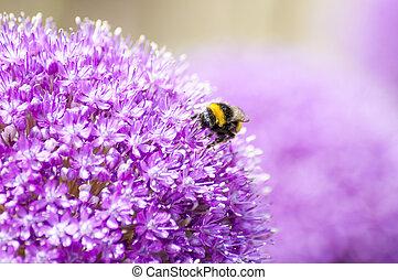 Pink Purple Violet Allium Flower with Honey Bee - Close-Up ...