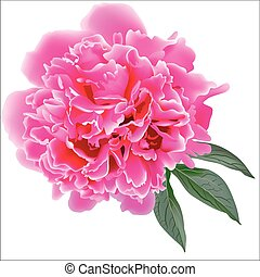 Pink realistic paeonia flower with tree leaves